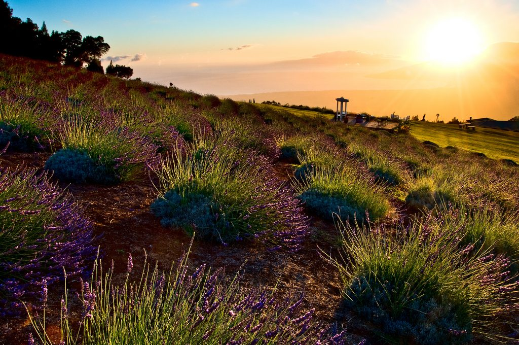 Sunset, Ali'i Kula Lavender Farm in Kula. Photo courtesy of Flickr/Kaiscapes.