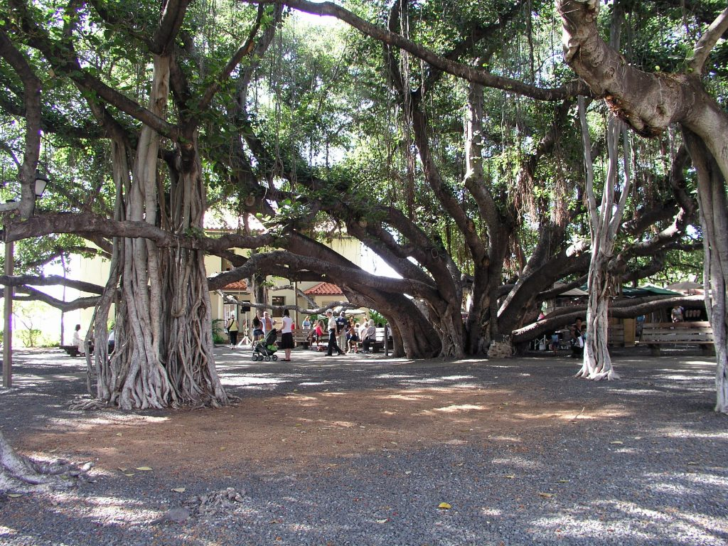 Lahaina Banyan Tree.   Image courtesy of Wikipedia