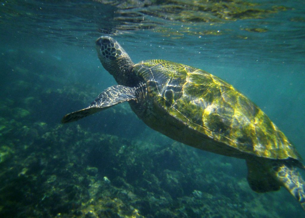 Honokeana Bay is said to have over 30 turtles and is definitely a turtle heaven for turtle lovers and snorkelers.   Image Source