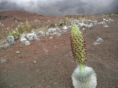 The silvery hairs of the Haleakala silverswords allow it to survive extreme weather conditions.  Image Source