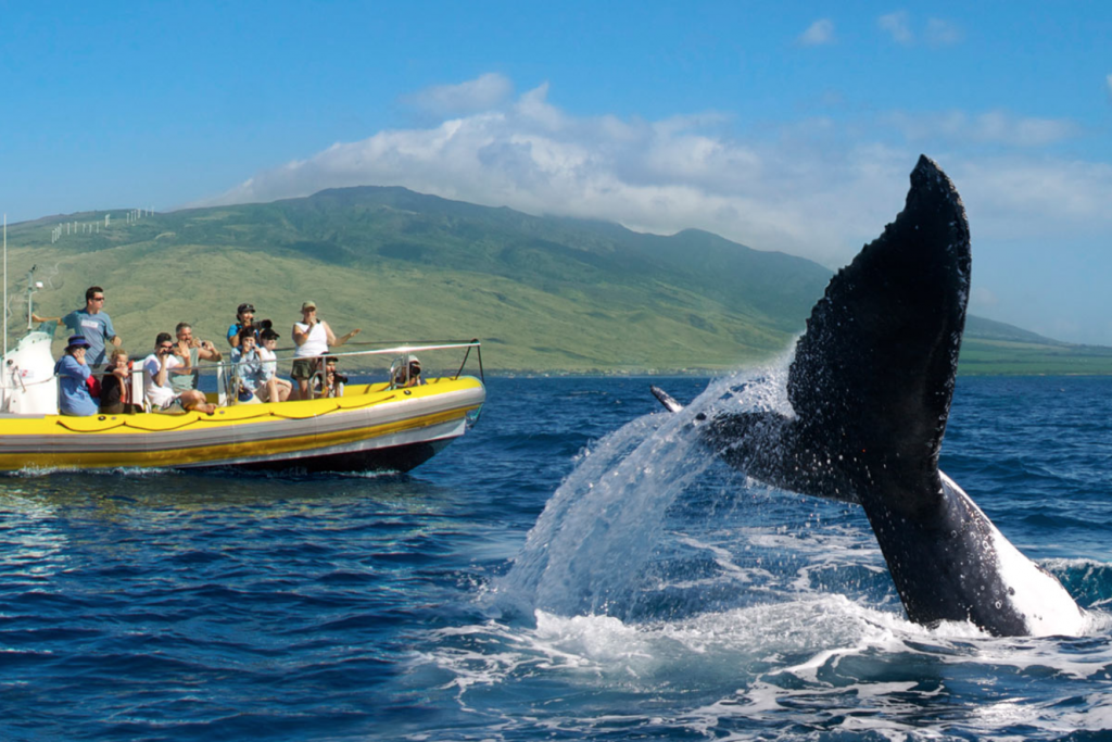 Most Maui whale watching tours are accompanied by experienced marine biologists that would love to share their experience with these marine mammals.